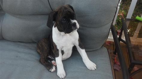 bullboxer pit puppies for sale hoobly beautiful idcr bullboxer puppies for sale breeds picture