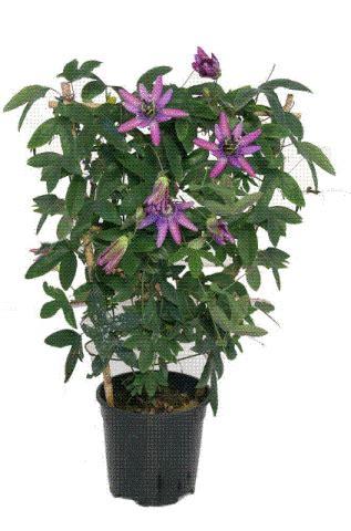 passiflora in vaso buona settimana con la passiflora su la strada nuova