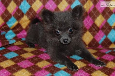 silver pomeranian puppies pomeranian puppy for sale near fort wayne indiana 922354eb 3841