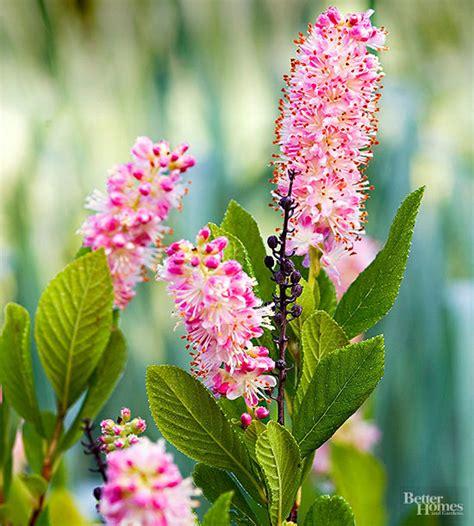 summer flowering shrubs sun best flowering shrubs for hedges ruby spice summersweet