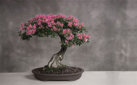 Bonsai Baum Arten by Flowering Pink Almond Bonsai Trees Prunus Glandulosa
