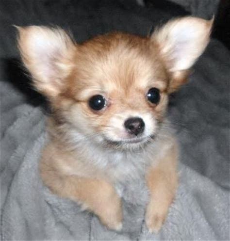 chihuahua pomeranian poodle mix 10 best ideas about pomeranian chihuahua on chihuahua mix pomeranian mix