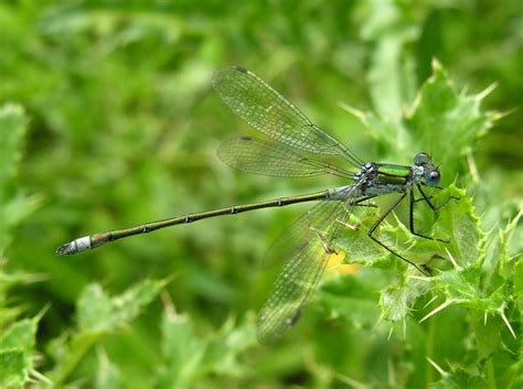 Dragonfly L by Dragonfly And Damselfly Identification Help