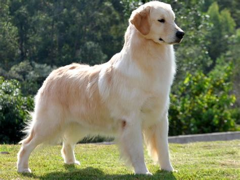 golden retriever appartamento canil forts golden retrievers