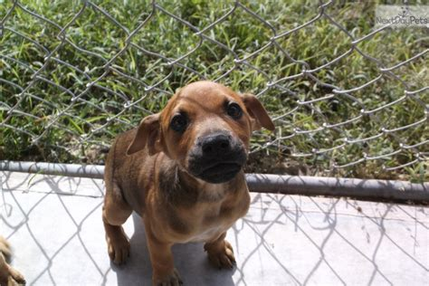black cur puppies for sale in florida black cur puppy for adoption near okaloosa walton florida 733b78aa 4222
