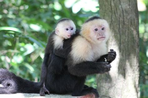 White faced capuchin monkeys - Picture of Gumbalimba Park ...