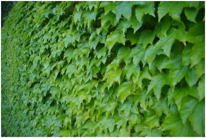 fast growing climbing plants vines creepers or climbing plants to fill walls in the