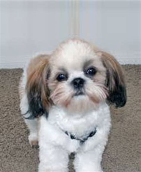 how to groom your shih tzu how to groom a shih tzu an easy introduction
