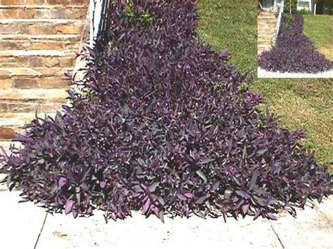 plantfiles pictures tradescantia purple heart purple
