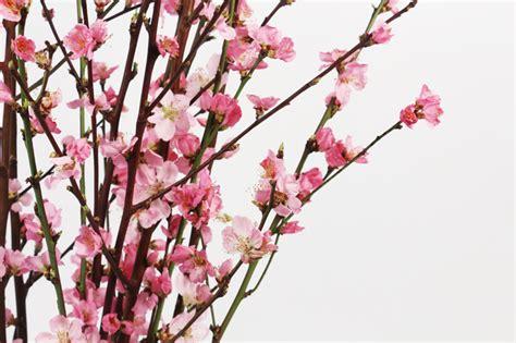 fiori di pesco fiori di pesco orlandi