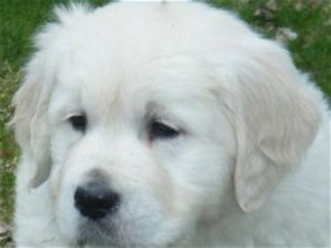 golden retriever puppies oregon for sale golden retriever puppies for sale oregon