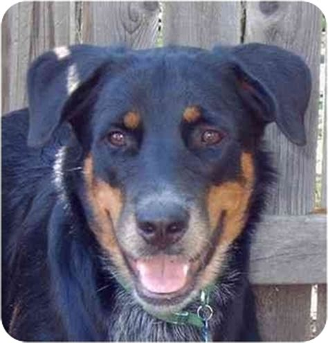 catahoula rottweiler mix adopted new referral springs tx rottweiler catahoula leopard