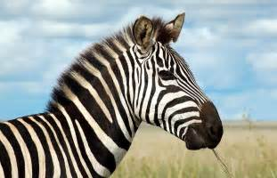 The Zebra The Zebra One Of Africa S Most Beautiful Creatures