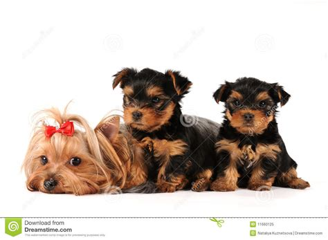 family yorkies family of terrier royalty free stock photo image 11660125