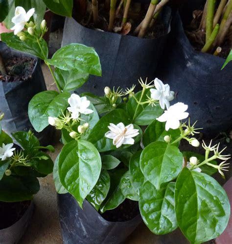 Anting Bunga Melati greenfingers anting anting puteri indah berseri