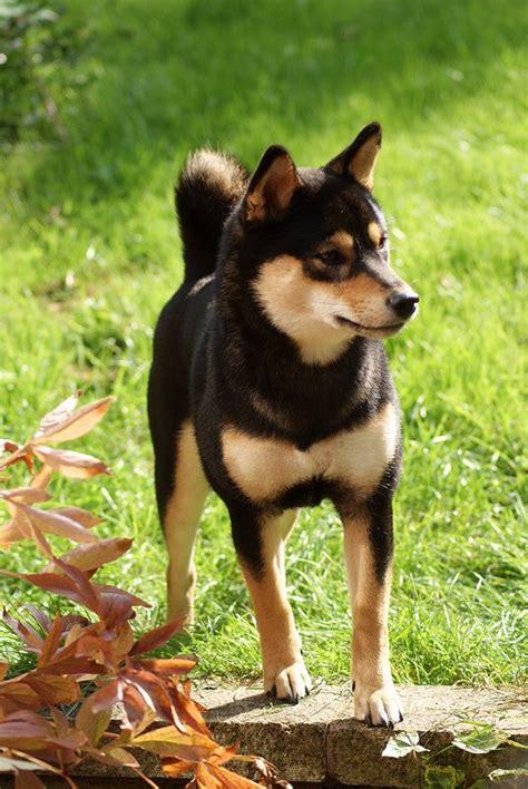shiba inu puppy rescue the world s catalog of ideas