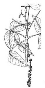 walnut tree coloring page walnut coloring page coloring pages