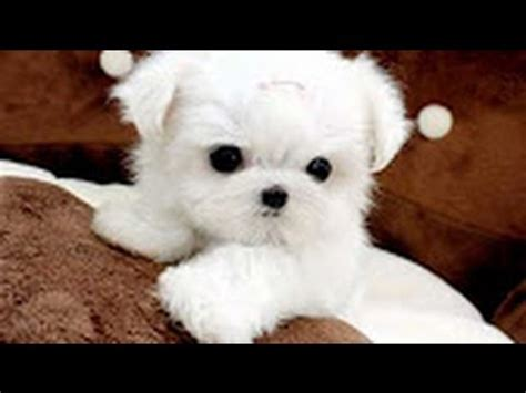 cutest in the world 2017 dogs cutest in the world white puppies compilation 2017