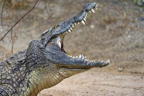 Crocodile with mouth wide open | Yes, this African ...