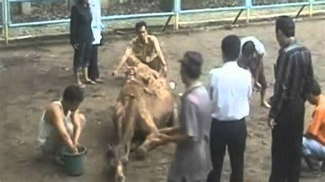 lion escapes  cage  kills camel youtube