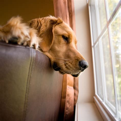 golden retriever separation anxiety separation anxiety in dogs don t blame fido golden