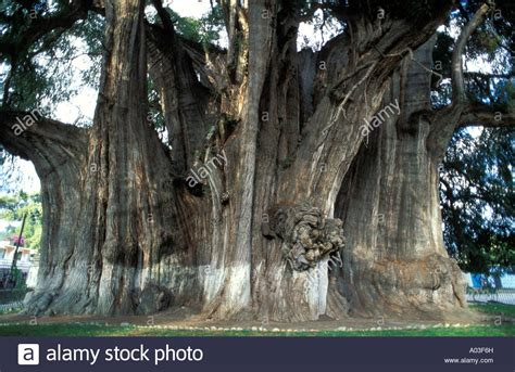 oldest in the world oldest tree in the world www imgkid the image kid has it