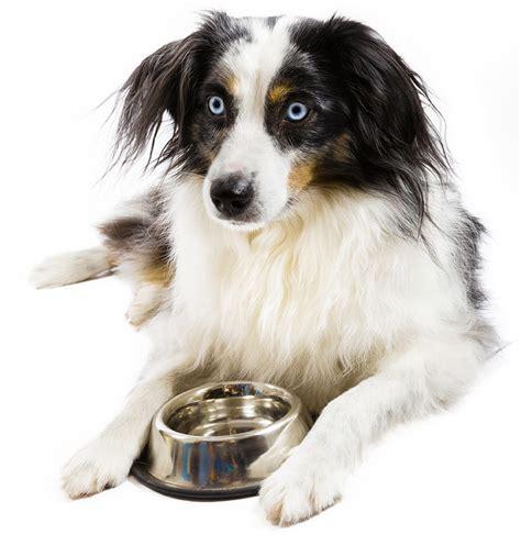 best food for australian shepherd best food for australian shepherd puppies dogs and seniors