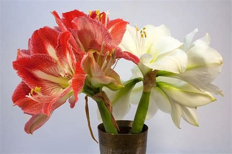 november flower of the month amaryllis floral blog wedding flower availability all things flowers blog by