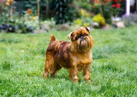 flat faced dogs meet 13 flat faced breeds