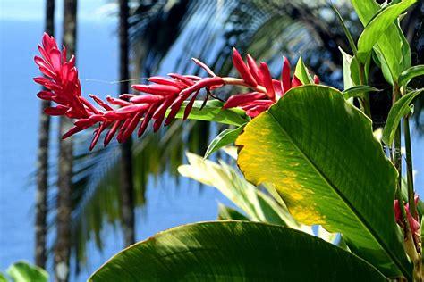 flowers photos 28 images photos of flowers photos of gallery flowers of the fiji islands jonny in fiji