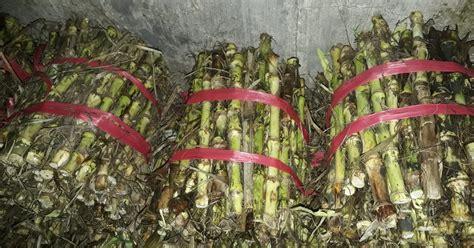 Bibit Rumput Odot Jawa Tengah harga bibit rumput gajah odot blitar 2017 2018 jual