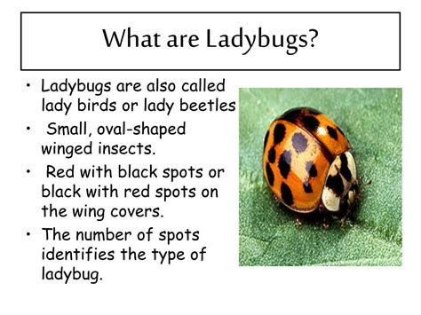 ppt the life cycle of ladybugs powerpoint presentation ppt the life cycle of ladybugs powerpoint presentation