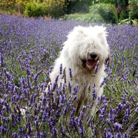 lavender on dogs top 20 pet photos pet problems solved