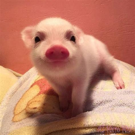 25  best ideas about Baby teacup pigs on Pinterest   Cute