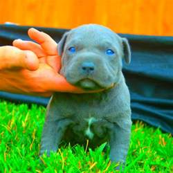pitbull puppies blue eyes exist
