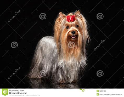 perro yorkie precio perro femenino de yorkie en fondo negro fotos de archivo libres de regal 237 as imagen