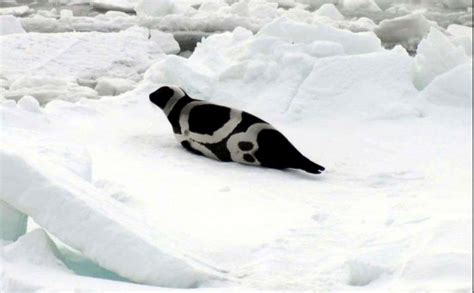 seal ribbon arctic seals stories dispatches from polar scientists