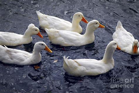 April Bath And Shower white ducks photograph by elena elisseeva