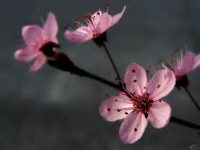 Rosas fondos de pantalla de p 233 talos rosas flores fondos de