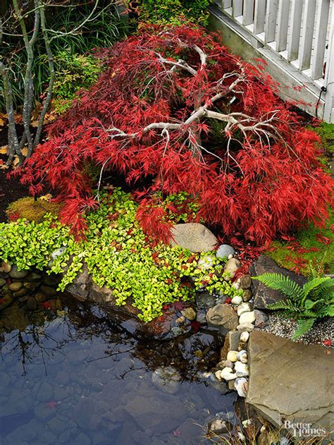 maple tree environment all about japanese maples better homes gardens