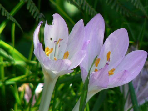 What Are The Gardening Zones - autumn crocus care tips for growing autumn crocus bulbs