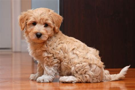 pooton puppies for sale coton poo puppies for sale puppies puppys and animal
