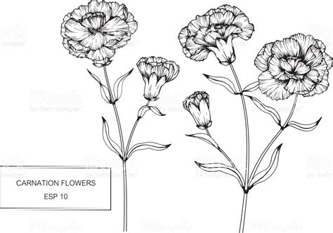 carnation flowers drawing and sketch with lineart on white