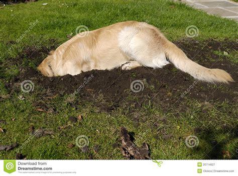 golden retriever digging golden retriever digging royalty free stock photography image 20714627