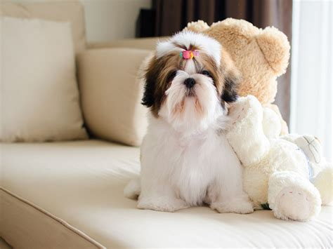 food for shih tzu with allergies food for shih tzu with allergies 1001doggy