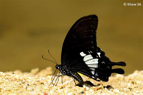 Plus Black Butterfly L blue and black butterflies species www pixshark images galleries with a bite