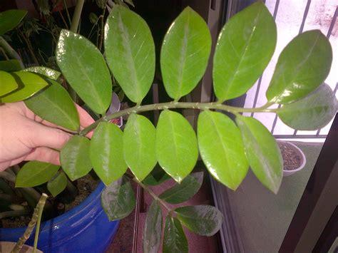 houseplant identification zz plant houseplant411 com