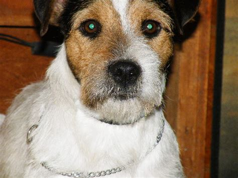 Parson Terrier Shedding by Parson Terrier Grooming Images