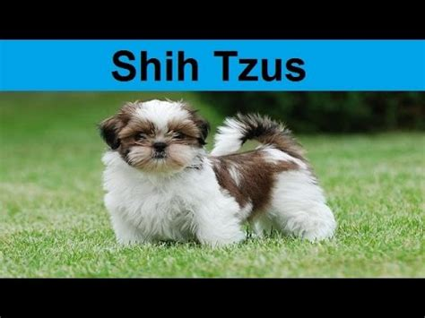 shih tzu puppies for sale in lincoln ne shih tzu puppy funnydog tv