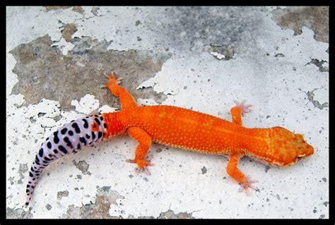 Leopard Gecko Xtreme Tangerine F leopard gecko version iii